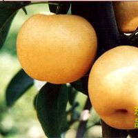 泰安果树苗价格
