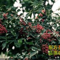 花椒苗种植批发基地