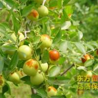 枣树苗种植批发基地