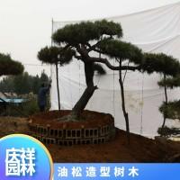油松造型树木