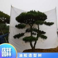 油松造型树